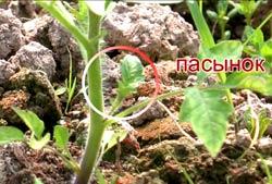 Пасынок, стоп-кадр видео пасынкования томатов