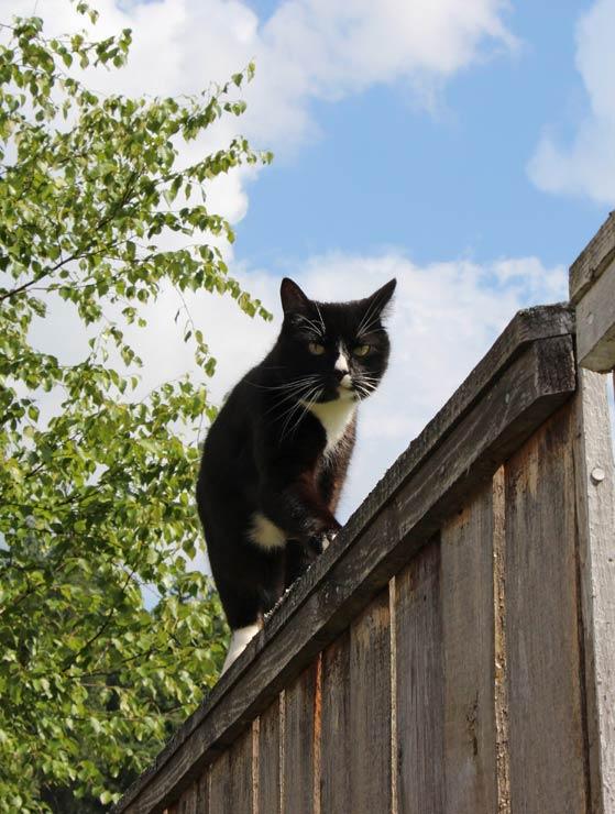 Наш кот воевода с дозором обходит владенья свои