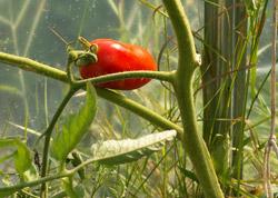 Томат Перцевидный, оставленный на семена.