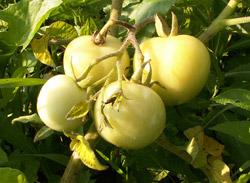 pomidory_yablonka_rossii_s.jpg