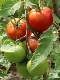 tomat-f1-leopold-24-07-s.jpg