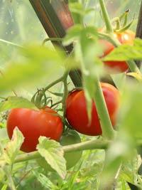 tomat-f1-samara-s.jpg