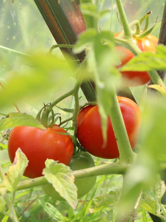 tomat-f1-samara.jpg