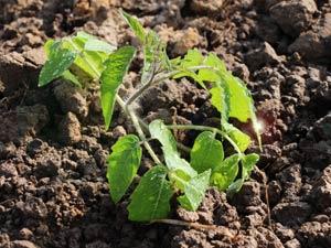 Томат Перцевидный, высадка рассады томатов.